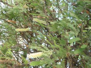 Ecole jean mermoz - Plante a la gomme ...